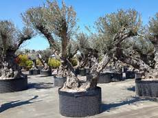 olivier nuage pas cher olivier centenaire 63 la rochelle 224 650