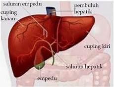 Organ Sistem Ekskresi Pengeluaran Pada Manusia Pintar