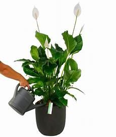 Einblatt Lässt Blätter Hängen - einblatt spathiphyllum pflege 123zimmerpflanzen
