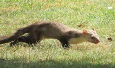 une martre peut tuer un chat la fouine un petit animal curieux et mal aim 233