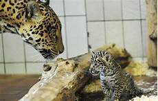 what is a jaguar called animal pictures cervantes