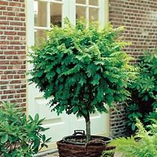 arbre pour petit jardin arbre pour petit jardin les vari 233 t 233 s 224 petit d 233 veloppement