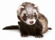 pet ferret care sheet supplies
