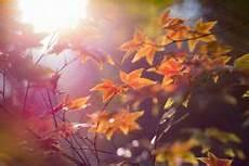 amberbaum oktoberglut preis amberbaum 187 die wichtigsten sorten im 220 berblick