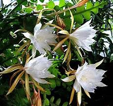 Gambar Bunga Wijayakusuma Xtra Two