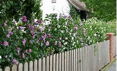 hibiskus hecke tipps zur pflanzung und pflege hibiskus