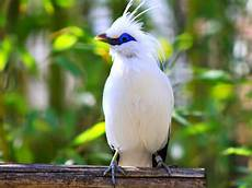 Berjalak Gambar Burung Jalak Bali