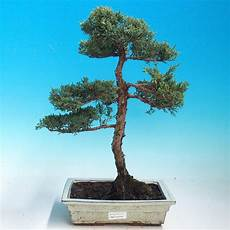 E Bonsai Outdoor Bonsai Perus Chinenssis Chinesische