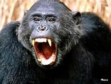 Image Of Roaring Gorilla