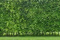 Die Hecke Natuerlicher Zaun Und die 6 pflegeleichtesten hecken plantura