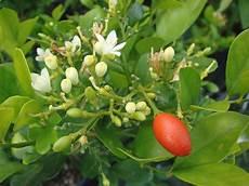 Bonsai Jeruk Kingkit Triphasia Trifolia