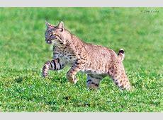 The Bobcat   Animals Lover