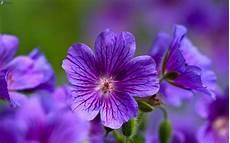 blume lila lila blumen