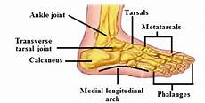 Anatomical Foot Diagram by Anatomical Structure Of The Human Foot The Image Shows
