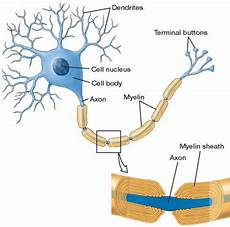 4 myelin sheath structure and function of the nervous system i