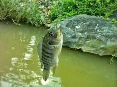 Klasifikasi Morfologi Ikan Mujair Lengkap Dengan Asal Usul