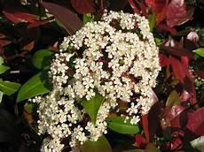 Photinia X Fraseri Cultiver Arbuste Et Haie Persistant
