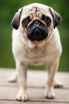 mops beige braun schwarz grumpi de haustiere hunde