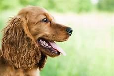 Ausmalbilder Hunde Cocker Spaniel Mittelgro 223 E Hunde