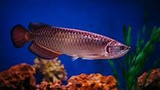Jenis Jenis Ikan Arwana Tercantik Dan Terpopuler Serta