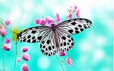 Weißer Schmetterling Bedeutung - schmetterling bedeutung und symbole deko feiern