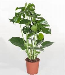 monstera fensterblattca 50 cm hoch 1 pflanze g 252 nstig
