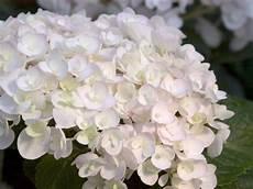 hortensie bauernhortensie endless summer the