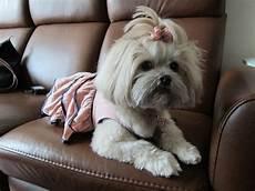 from new york to hong kong importing mimi my precious brindle shih tzu nybowtique com dog bows