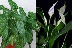 Zimmerpflanzen F 252 R Dunkle Ecken