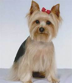 yorkie haircuts 87 captivating haircuts for your yorkie