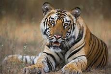tiger numbers rise for the time in 100 years wwf