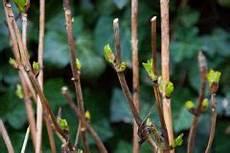 wann werden hortensien geschnitten hortensie endless summer schneiden 187 wann und wie