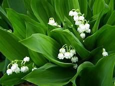 mughetto significato dei fiori mughetto fiore immagini cura della pelle
