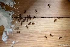 Ameisen Bek 228 Mpfen Im Haus In Der Wohnung 22 Wirksame