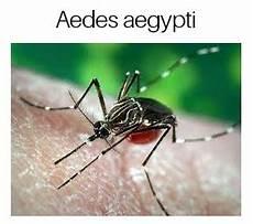 Perbedaan Nyamuk Aedes Aegypti Dan Aedes Albopictus