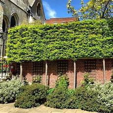Pleaching Hedge Craft Made Simple Hedge Xpress