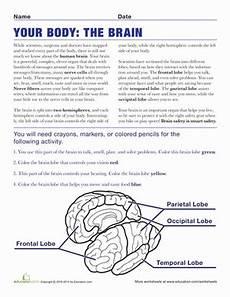 brain anatomy worksheet education com