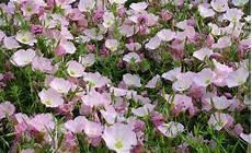 pflanzen für trockene sonnige standorte dauerhaft sch 246 n trotz hitze und trockenheit blumen