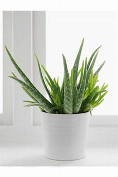 aloe vera topfpflanze indoor plants a complete guide on the best indoor plants