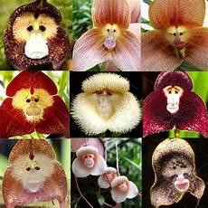 10pcs monkey orchid seeds beautiful plant flower