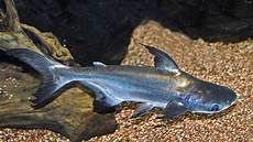 Ikan Patin Ikan Air Tawar Unggulan Dalam Negeri Greeners Co