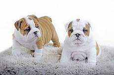 bulldog anglais a vendre chiots bulldog anglais a vendre vente de chiots bulldog