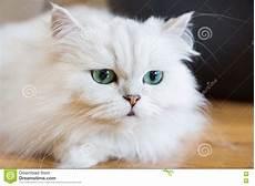 prezzi gatti persiani gatti persiani bianchi immagine stock immagine di colpo