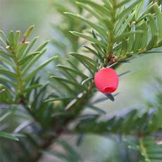 Eibe Taxus Baccata - buy yew taxus baccata 163 14 99 delivery by crocus