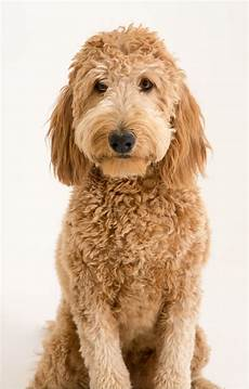 16 New Goldendoodle Haircut Guide Pictures Meowlogy   16 new goldendoodle haircut guide pictures goldendoodle haircuts labradoodle grooming