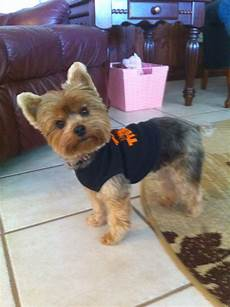 yorkie haircuts pictures summer cuts like this hair cut for the summer ϓorkies pinterest hair cuts yorkies and summer