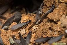Termites En Leur Biologie Et Comment S En