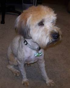 soft coated wheaten terrier haircut photos soft coated wheaten terrier haircut haircuts you ll be asking for in 2020