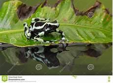 Frosch Malvorlagen Ragnarok Gift Pfeil Frosch Dendrobates Auratus Stockfoto Bild