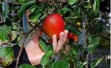 common types of apples gardening site